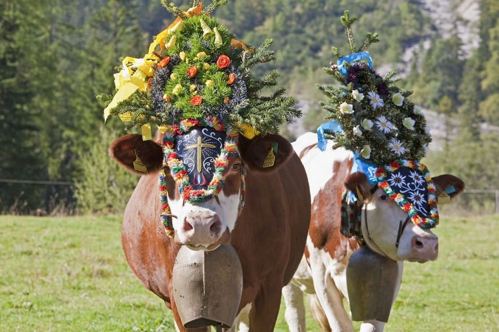 Kühe mit Kopfschmuck groß